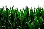 Landwirtschaftlicher Betrieb am BER darf keinen Mais anbauen