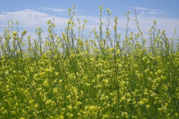 Brassica Carinata - Senfpflanze für Bio-Treibstoff